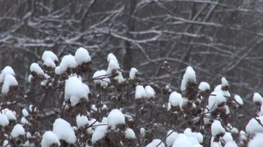 Snowy dry thorn in winter — Video Stock