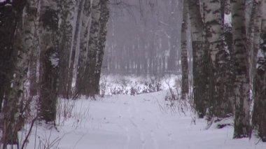 Birch alley with tracks in the winter snow — 图库视频影像