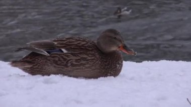 Beautiful duck lying on the snowy Bank — Stockvideo