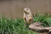 Marmot stood in a ridiculous position — Stock Photo