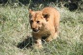 Lion cub walking on grass — Stock Photo