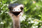 Smiling ostrich large frame — Stock Photo