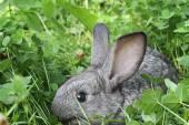 Grey rabbit clover lawn — Stock Photo