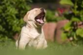 Crying Labrador puppy — Stock Photo