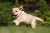 Labrador puppy running on the meadow — Stock Photo