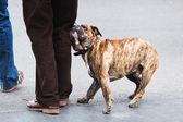 Boxer dog with his master — Stok fotoğraf