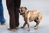 Boxer dog with his master — Stock Photo