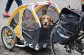 Dog sitting in a bicycle trailer — Stock Photo
