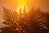 Fern fronds at sunrise — Stock fotografie