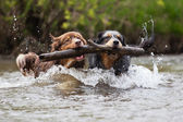 Two Australian Shepherd dogs swimming in a river — Stock Photo
