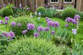Picturesque english garden with boxtrees and Allium flowers — Stock Photo