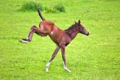 Young foal is jumping on the paddock — Stock Photo