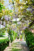Pergola with tendrils of Chinese Wisteria — Stock Photo