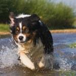 Australian Sheperd  dog running in full action through the water — Stock Photo #54638239