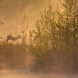 Morning nature idyll with a deer in the morning fog — Stockfoto #54638859