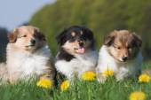 Three cute Collie puppies sitting in a row — Stock Photo