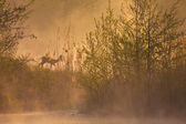 Morning nature idyll with a deer in the morning fog — Stockfoto