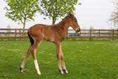 Cute Westphalian foal in the paddock — Stock Photo