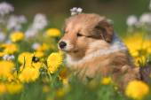 Collie puppies in a dandelion field — Foto de Stock