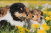 Collie puppies in a dandelion field — Stok fotoğraf