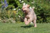 Otterhound running in the  garden — Stock Photo