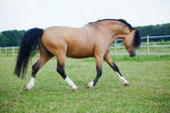Portrait of a Welsh Cobb Pony — Stock Photo