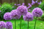 Decorative Allium flowers in a garden bed — Stock Photo