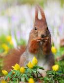 Cute squirrel sitting between winter aconite and crocuses — Stock Photo