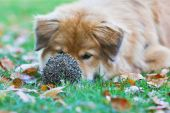 Interested dog lying in front of an hedgehog — Stock Photo