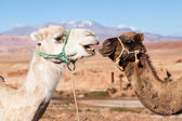 Two dromedaries in the Atlas Mountains of Morocco — Stock Photo