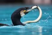 Cormorant with an eel in the beak — Stock Photo