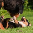 Greater Swiss mountain dog mother and child playing intimate together — Stock Photo #54861153