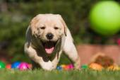 Cute Labrador puppy walking on the garden lawn — Stock Photo