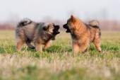 Two cute Eurasier puppies in interaction — Foto de Stock