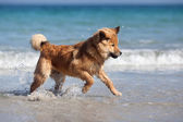 Cute young Elo dog running through the water of the seashore — Stock Photo