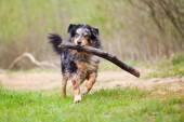 Wet Australian Shepherd dog running with a big branch — Stock Photo