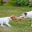 Two Parson Russell Terrier, a puppy and an adult dog contesting for a toy — Stock Photo #55039713