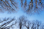 Leafless tree canopy against blue sky — Stock Photo