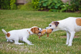 Two Parson Russell Terrier, a puppy and an adult dog contesting for a toy — Stock Photo