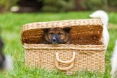 Elo puppy looking out of a basket — ストック写真