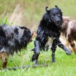 Australian Shepherd dogs shaking themselves after having a bath — Stock Photo #55233687