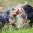 Australian Shepherd dogs shaking themselves after having a bath — Stock Photo #55234685