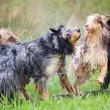 Australian Shepherd dogs shaking themselves after having a bath — Stock Photo #55236343