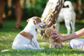 Girl plays with a Parson Russell Terrier puppy — Stock Photo