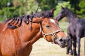 Ardennes Cart Horse shaking the head — Stock Photo