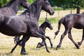 Friesian horses with a foal career in the paddock — Stock Photo