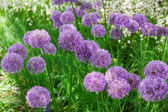 Allium flowers in a flower bed — Stock Photo