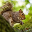 Cute squirrel nibbles at a nut — Stock Photo #55543263