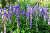 Blue lupines in a flower bed — Stock Photo