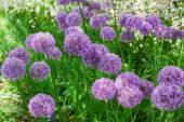 Flower bed with Allium flowers — Stock Photo